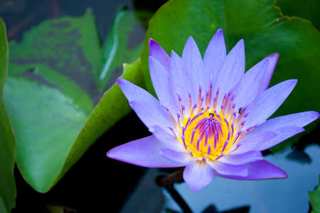Light blue Lotus bloom more fully refreshed and comfortable.