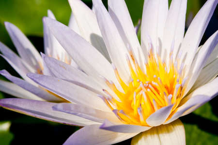 White Lotus in full bloom in a pond with Lotus pollen, insect glands.  Stock Photo