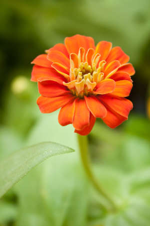 center position: Red flower blooming flowers in the garden. Distinguished by the center position.   Stock Photo