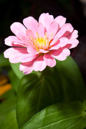 Yen flowers make a beautiful flower blooming in the garden.