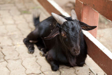 pygmy goat: it black goat sit, black goat in zoo thailand.