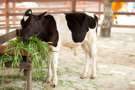 Animals at the zoo. Cows eat grass in the farm photo