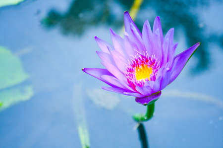 The blue lotus is blooming. In fresh water. The lotus leaf green. Stock Photo - 10907422