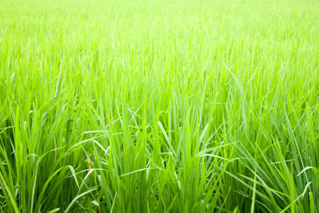 Fields to cultivate rice. Green seedlings.
