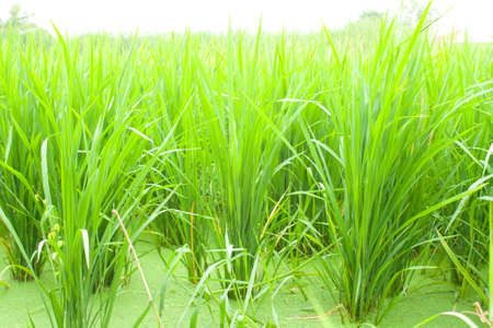 Fields to cultivate rice. Green seedlings. Stock Photo - 10907401