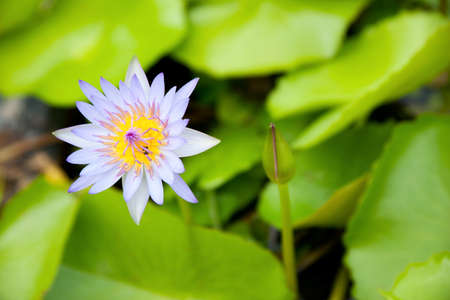 The blue lotus is blooming. In fresh water. The lotus leaf green. Stock Photo - 10907420