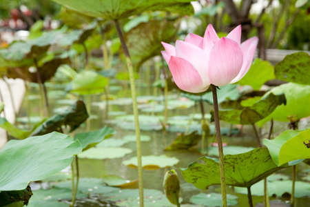 Lotus in the lotus pond in full bloom lotus pond at the bright sunshine.