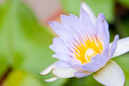 lirio acuatico: Flor de loto florece en una flor de loto. Dentro del parque.