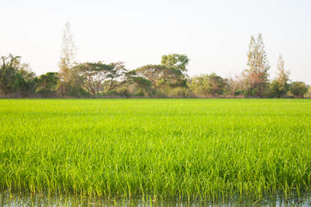 Trees in rice fields. Plant trees in paddy fields. The sky is not bright. Stock Photo - 12266002