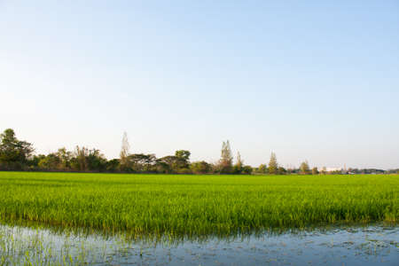 field of thai: Trees in rice fields. Plant trees in paddy fields. The sky is not bright.
