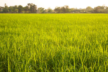 grass field: Trees in rice fields. Plant trees in paddy fields. The sky is not bright.