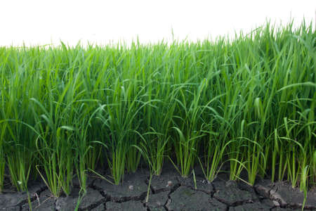 Rice seedlings were grown to a spike. The food is consumed photo