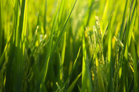 paddy fields:  Rice grown in the green fields Stock Photo