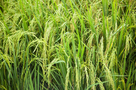 more mature: Rice and rice fields. Grains of rice in the rice fields. Agricultural areas.  Stock Photo