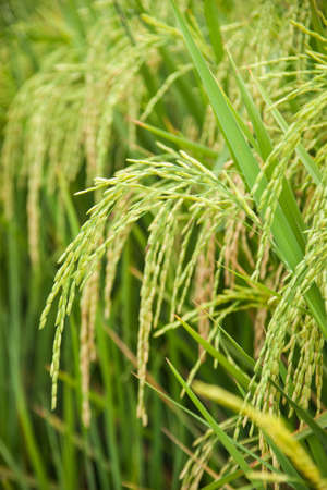 Rice and rice fields. Grains of rice in the rice fields. Agricultural areas.  Stock Photo
