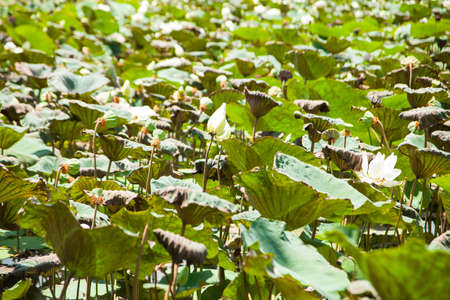 lotus is a lotus pond and a lotus pool area is very dense. photo