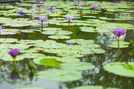 lily pad: Lotus in the lotus pond plant in the garden. So beautiful. Stock Photo