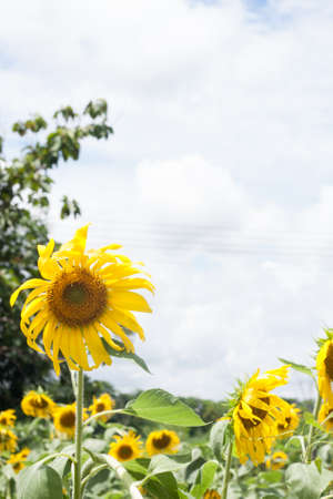 acres: Sunflower acres planted in sunflower sunflowers are blooming full force. Stock Photo