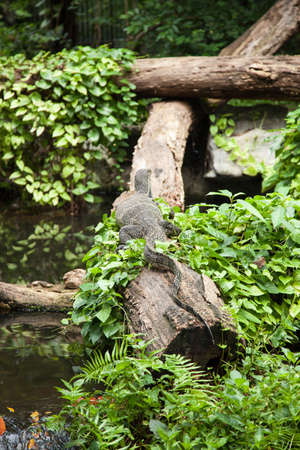 Large monitor lizard on dry timber. And looking forward. Stock Photo - 16211519