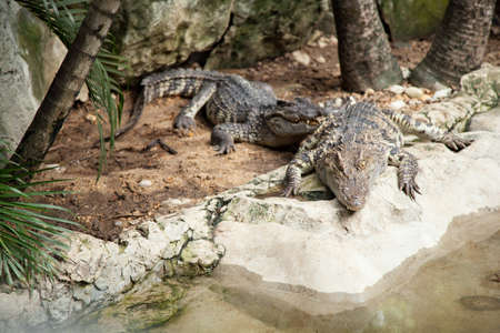 Crocodiles in the area of the zoo. Wild animals live both on land and in water. Stock Photo - 16211545