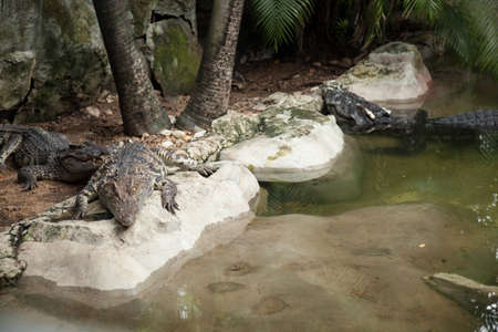 Crocodiles in the area of the zoo. Wild animals live both on land and in water. Stock Photo - 16211494