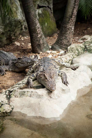 Crocodiles in the area of the zoo. Wild animals live both on land and in water. Stock Photo - 16211523