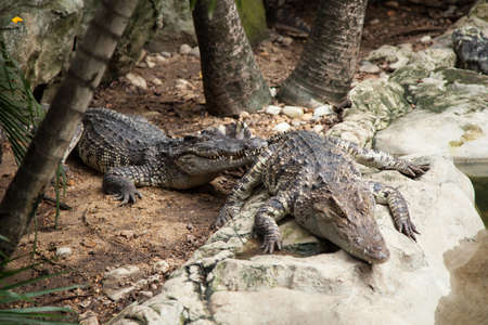 Crocodiles in the area of the zoo. Wild animals live both on land and in water. Stock Photo - 16211541