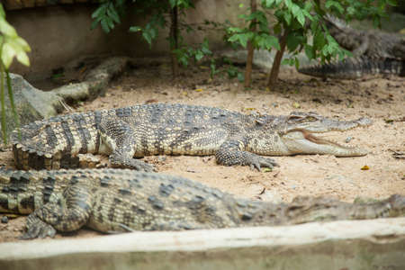 Crocodiles in the area of the zoo. Wild animals live both on land and in water. Stock Photo - 16211509