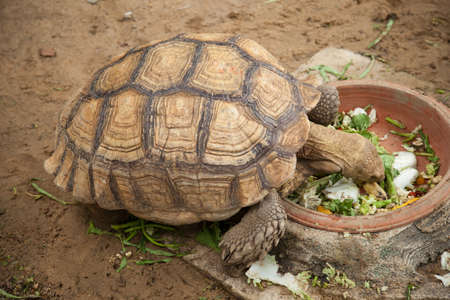 large turtle: Large turtle breeding areas within the zoo. The style and color of the carapace is unusual. Stock Photo
