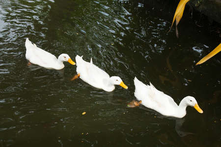 Ducks are swimming in the water. Many ducks are fed pond within the park. Stock Photo - 16211459