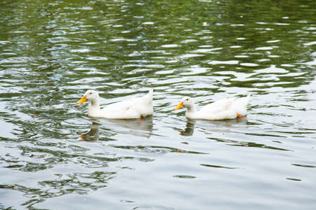 Ducks are swimming in the water. Many ducks are fed pond within the park. photo