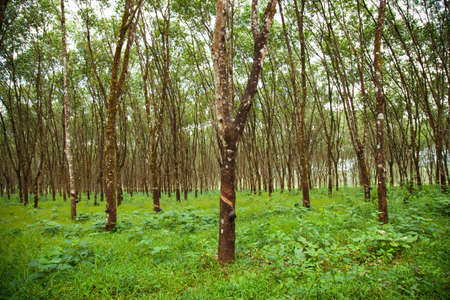 Rubber tree plantation rubber trees were planted in rows in garden. Stock Photo
