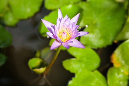 Purple lotus in full bloom lotus in a water garden. photo