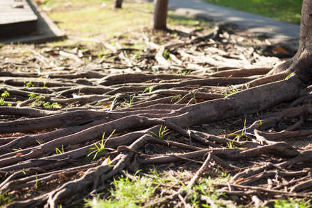 rooted: root of the tree is rooted at the age would be spread out along the ground.