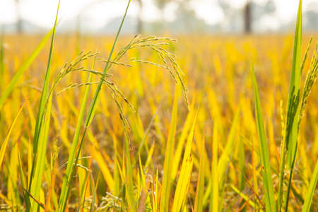 Rice in the rice fields. Awaiting harvest. Cooked rice harvest. Stock Photo