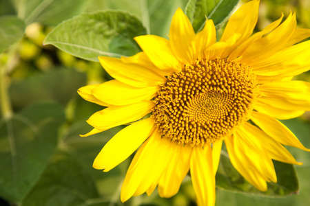 Sunflower in full bloom. Planted in the garden. photo