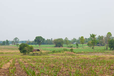 farming area: Sugarcane farming area. Sugarcane to produce sugar. A small house. In the crop area.
