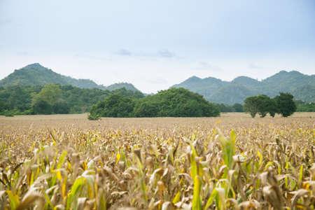 farming area: Mountains and farmland With corn farming area near the mountain.