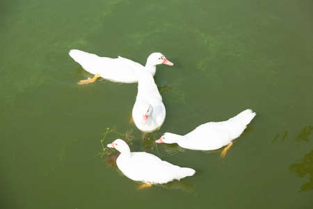 Ducks are swimming In the pool, the farm animals. photo