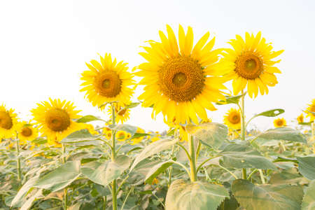 Sunflower in sunflower field Flowering sunflowers in full bloom in the fields of agriculture.