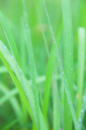 settles: Dew on the grass In the morning, the cold weather Dew that settles on the grass.