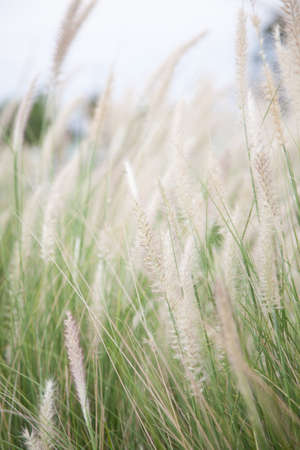 depends: Flower of grass. White flowers that also depends on the grass beside the road. Blown by the wind that blows through. Stock Photo