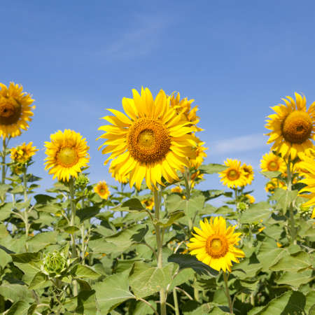 sunflower: Sunflower field. Sunflower field in full bloom. Cloudy sky clear