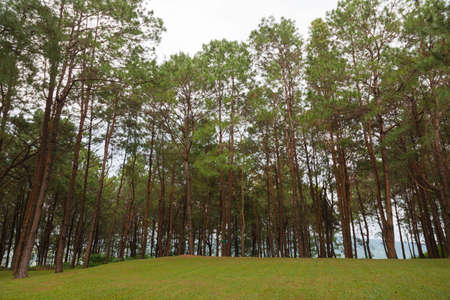 grassy knoll: Pines growing on the grassy knoll. Pine growing on the lawn on a hill in the park. Stock Photo