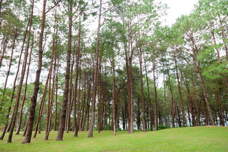 grassy knoll: Pines growing on the grassy knoll.