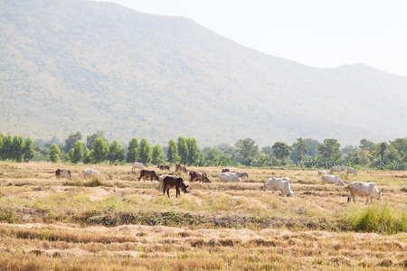 farming area: Cattle feeding grass. Livestock farming area near the mountains.