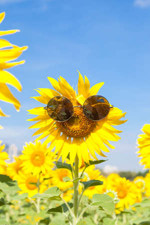 Glasses with sunflowers. Clear sky cleared in sunflower field. Stock Photo