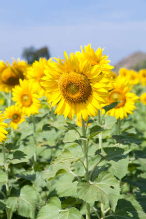 Sunflowers in the field. Sunflower sunflowers in full bloom in the morning. photo