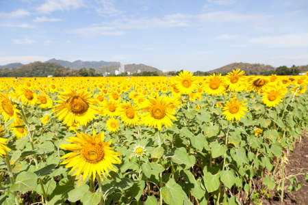 arable farming: sunflower fields. Arable farming of sunflower fields. In the morning, with the back into the mountains.