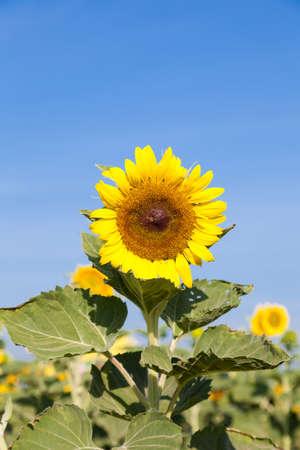 sunflower in field.blue sky in clear sky day. photo
